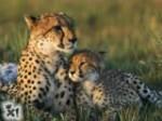 sfondi-ghepardo-piccolo.jpg